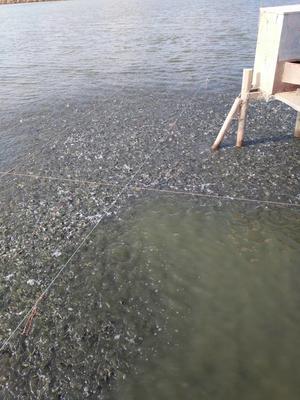 江苏盐城池塘鲫鱼 人工养殖 0.05公斤