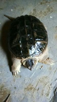 广东湛江鳄鱼 龟