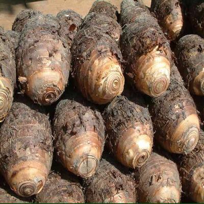 福建宁德槟榔芋 6cm以上