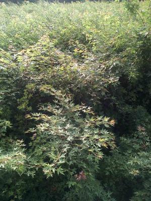 河南省平顶山市鲁山县大量出售四年五角枫 5cm以下