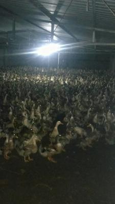这是一张关于花边鸭 2-3斤 统货的产品图片