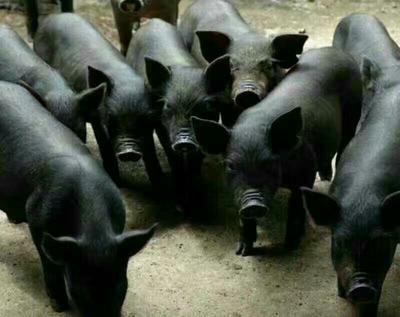这是一张关于太湖猪苗 太湖猪20-30斤的产品图片