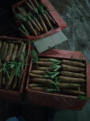 山东潍坊三红胡萝卜 15cm以上 2两以上 3~4cm