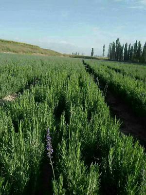 新疆维吾尔自治区伊犁哈萨克自治州霍城县法国蓝