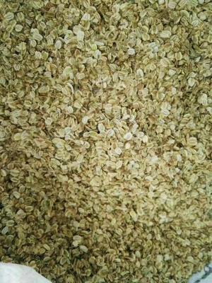 安徽亳州川白芷 川白芷种子哪里有卖的