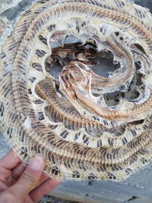 湖南永州五步蛇 药用
