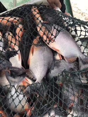 浙江湖州红鲳鱼 人工养殖 1-1.5公斤