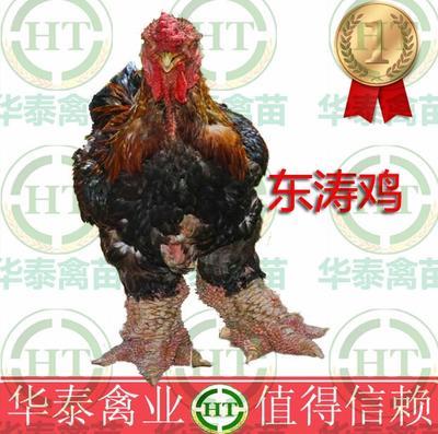 广西南宁东涛鸡 2斤以下 统货 惠农推荐东涛鸡肉 纯种东涛鸡苗 诚信企业