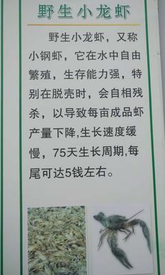 江苏宿迁龙虾苗