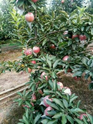 这是一张关于美八苹果 100mm以上 条红 纸+膜袋的产品图片