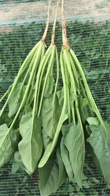 内蒙古自治区乌兰察布市集宁区黑叶菠菜 25~30cm