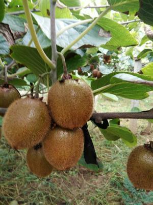这是一张关于徐香猕猴桃 80~100克 普通箱装五斤果的产品图片