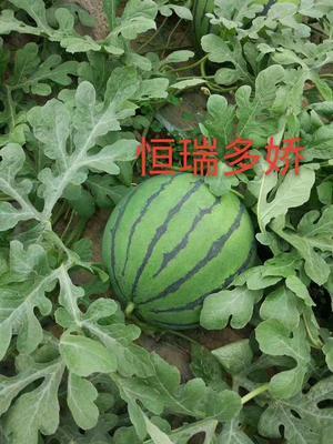 山东省潍坊市青州市甜王西瓜 种子