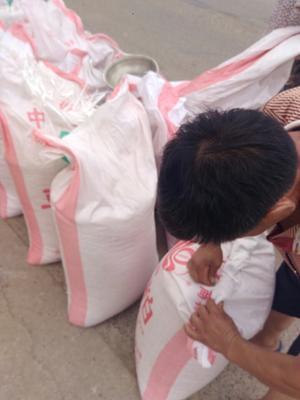 湖北武汉登海605玉米粒 净货 水份14%-16% 霉变≤1%