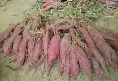 河北保定紫罗兰紫薯 3两以上