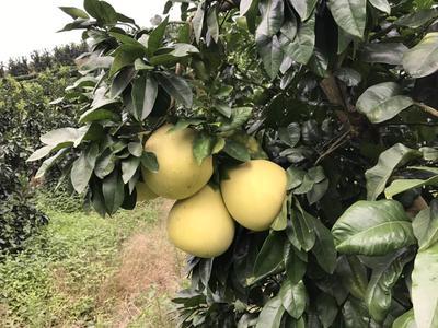 福建宁德蜜柚 1.5斤以上