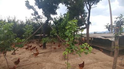 这是一张关于土鸡 5-6斤 统货的产品图片