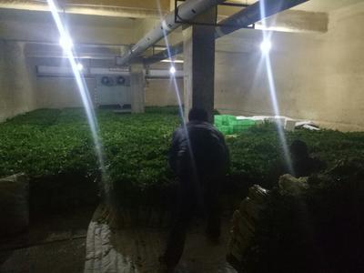甘肃省定西市安定区毛芹 55~60cm 露天种植