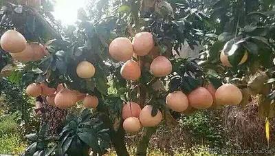 三红蜜柚苗