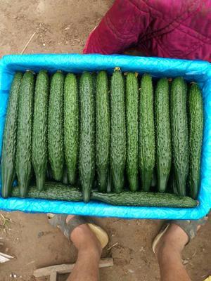 山东聊城密刺黄瓜 25~30cm 干花带刺