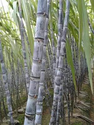广西玉林大灰种甘蔗 5 - 6cm 2 - 2.5m
