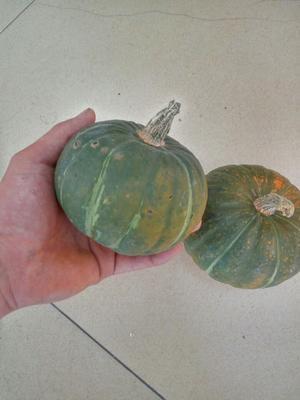 山东省潍坊市安丘市板栗南瓜 0.7~1.0斤 扁圆形