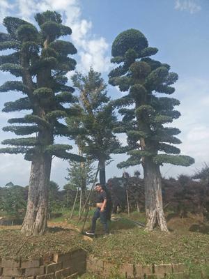 湖南长沙榆树