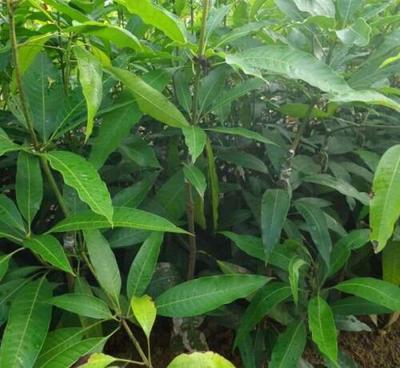 这是一张关于桂七芒果苗的产品图片