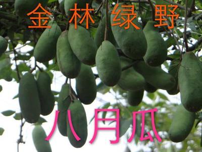 江苏宿迁野生八月瓜 140-150g