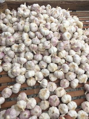 江苏徐州红皮大蒜 5.5cm 多瓣蒜 江苏大蒜红皮白皮大蒜5.5cm市场专供