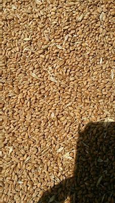 甘肃金昌红小麦