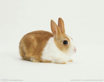 这是一张关于中国白兔 1斤以下的产品图片