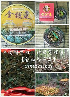 福建泉州德化县仿野生林下种植金线莲 干品