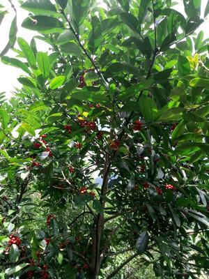 这是一张关于苦丁茶 散装, 苦丁村几百年的野生茶树一斤包邮的产品图片