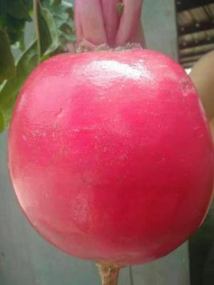 河北省保定市蠡县大红袍萝卜 1.5~2斤