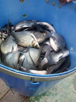 安徽宣城武昌鱼 1-1.5公斤 人工养殖