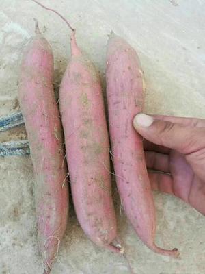 陕西西安秦薯五号 3两以上 红皮