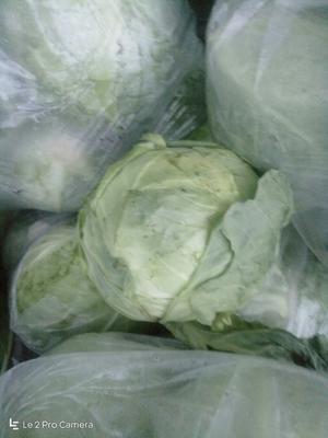 天津绿甘蓝 0.5~1.0斤