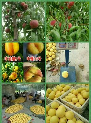 这是一张关于黄金蜜桃树苗 1~1.5米的产品图片