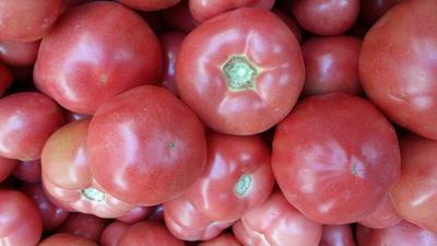 河南安阳硬粉番茄 硬粉 弧三以上 不打冷