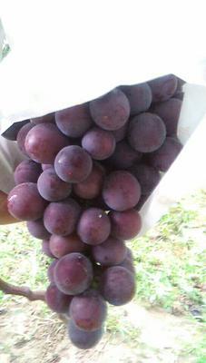 陕西西安户县树葡萄