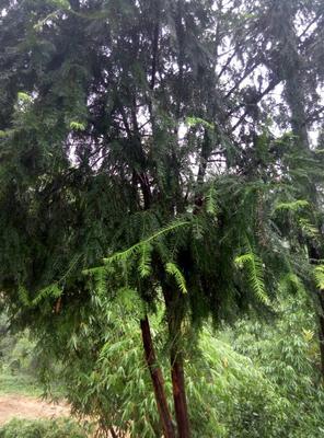 云南德宏云南红豆杉 2.5~3米
