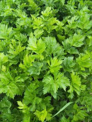 河北省张家口市康保县玻璃脆芹菜 60cm以上 露天种植 1.0~1.5斤