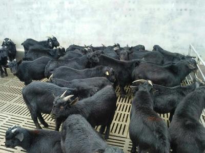 山东济宁黑山羊 50-80斤