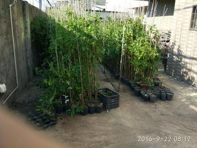 福建省厦门市海沧区牛樟树
