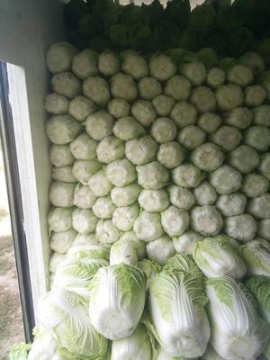 河北省张家口市蔚县金峰白菜 3~6斤 净菜