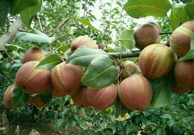 这是一张关于早酥红梨树苗 1~1.5米的产品图片