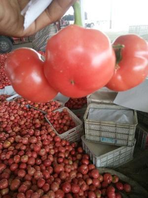 河北衡水硬粉番茄 硬粉 弧二以上 不打冷
