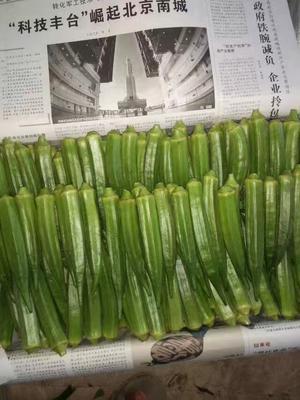 河南濮阳黄秋葵 10 - 12cm