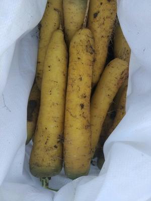 新疆维吾尔自治区乌鲁木齐市头屯河区黄胡萝卜 15cm以上 3两以上 3~4cm